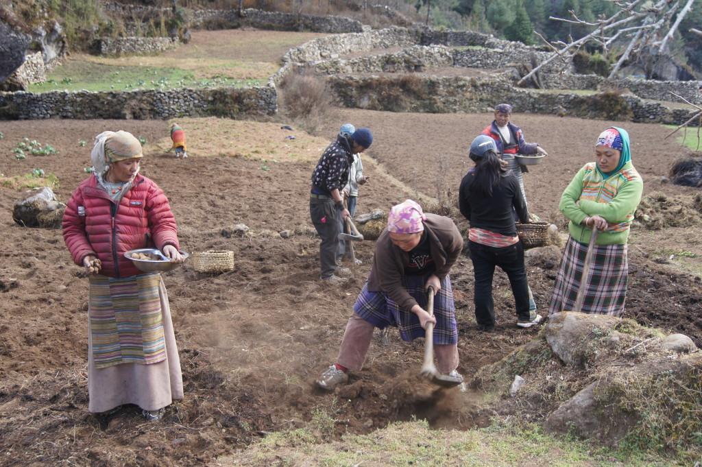 Planting potatoes. (Pasang Sherpa)