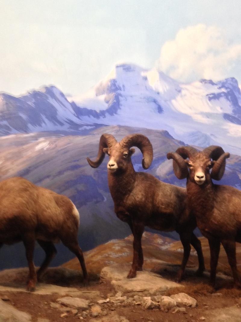 bighorn sheep bso