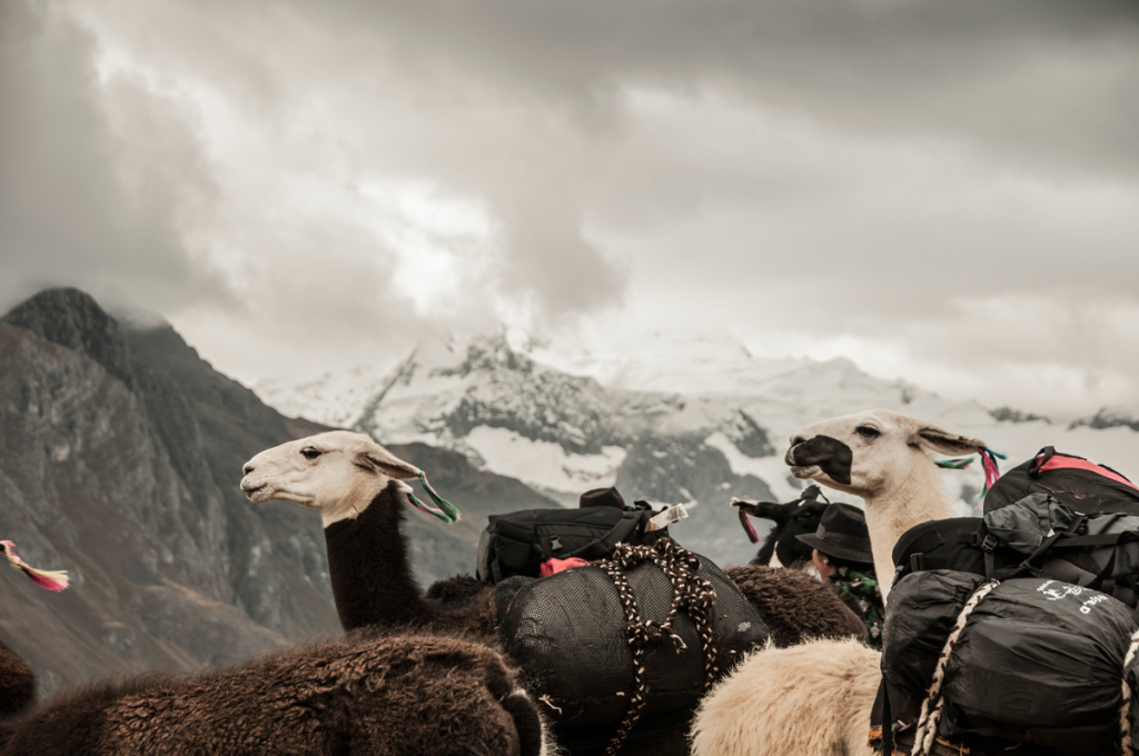 Llamas being loaded with supplies in preparation for the hike up to the base camp. ©Maxim Holland.