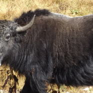 Bhutan's Glaciers and Yak Herds Are Shrinking