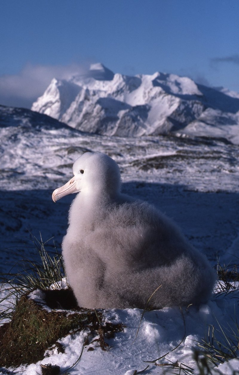 Wandering Albatross chick, South Georgia island, ©Stephen Williams