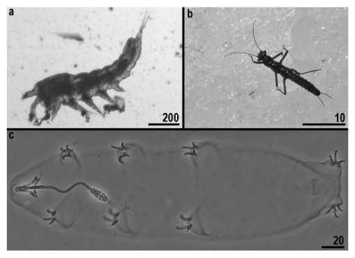 A glacier copepod (scale bar in um), a Plecoptera (scale bar in mm), and tardigrade Pilatobius recamieri (scale bar in um) Source:  Zawierucha et al., 2014.