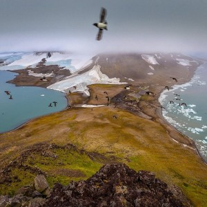Little auks in Franz-Josef Land. ©  Cory Richards (Facebook)