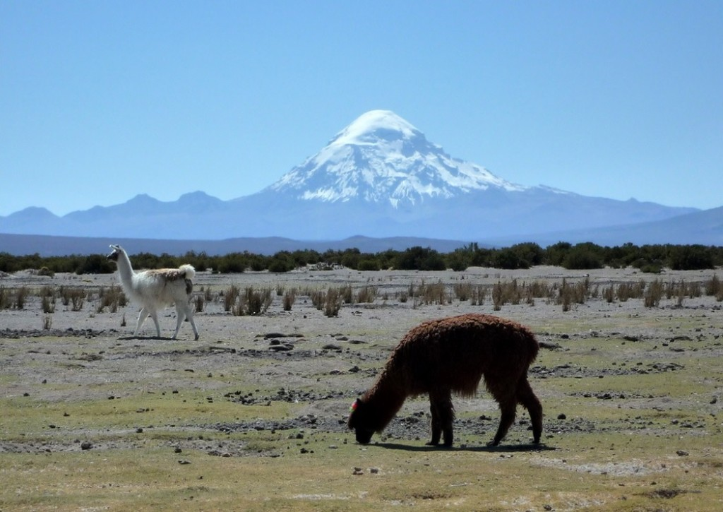 Alpacas at Sajama (source: twiga269/Flickr)