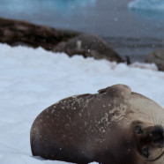 Photo Friday: Seals taking it easy on icebergs