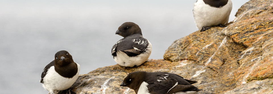 Little Auk Upends Arctic Climate Change Models