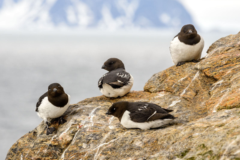 Little auks ©  Allan Hopkins, Flickr
