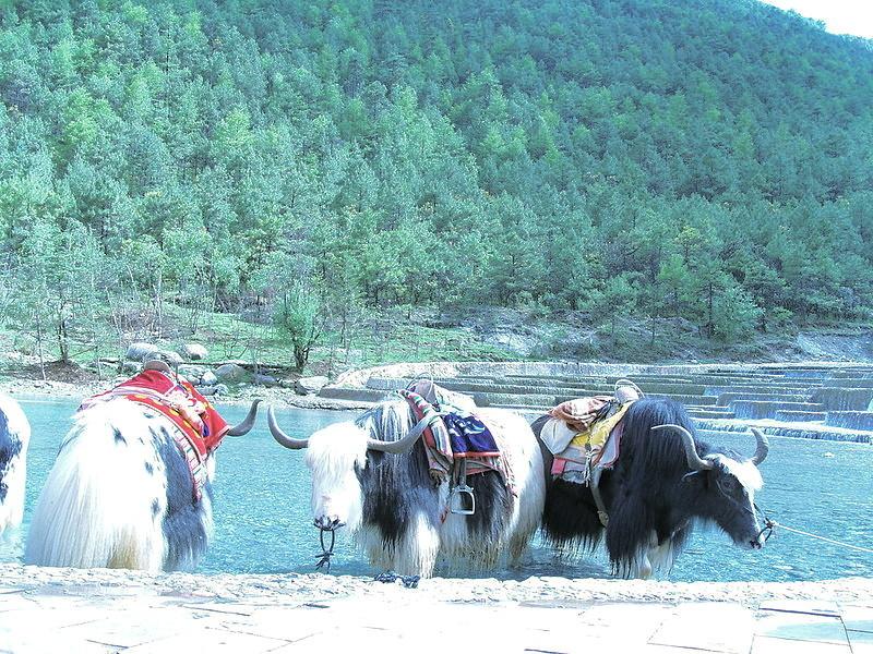 Yaks in Yunnan