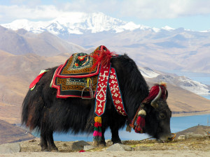 Yak grazing in the mountains of Tibet. (Photo: Wiki)