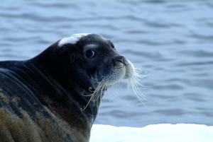 Greenland Seal. Source: Greenland Travel/Flickr