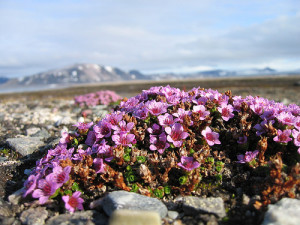 Saxifraga oppositifolia living on alpine corridors (Source: Alastair Rae/Flickr).
