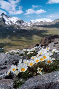 Leucanthemopsis alpine living on mountain summits (Source: Apollonio Tottoli)