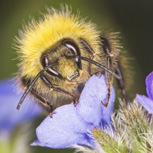 Bumblebee (Photo: Johan  J. Ingles-Le Nobel)