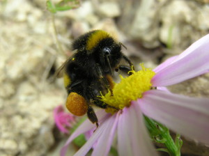 Many species of bees have pollen baskets on their hind legs. (Photo: wikimedia)