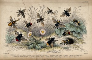 There are many species and types of bees which can be identified by their colors, wing sizes, behavior, and other characteristics. (Photo:  Wellcome Library, London. )