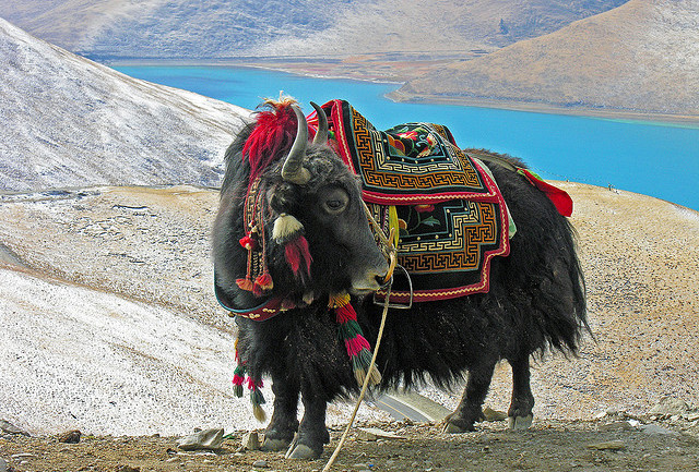 Yak at Yundrok Yumtso Lake