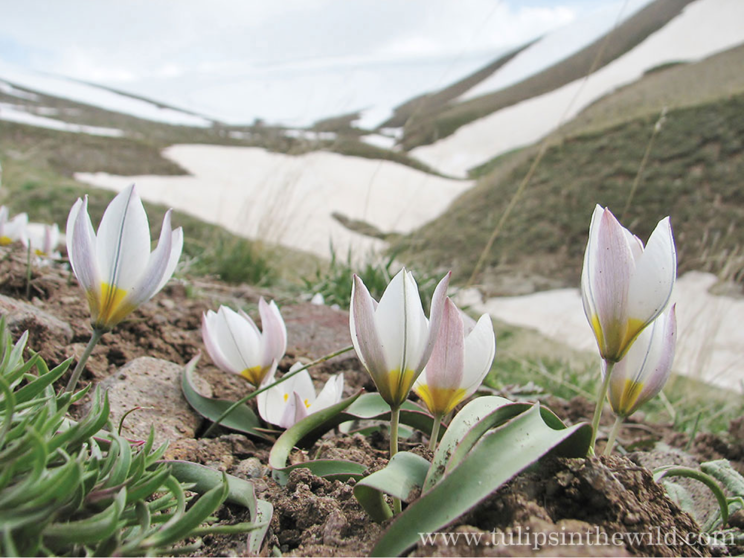 wild tulips with snowfields in the background