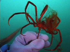 Image of an Antarctic SCUBA diver's hand holding a red sea spider with long curled legs underwater.