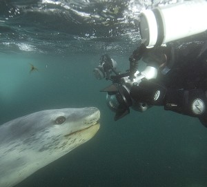 An image of an Antarctic SCUBA diver with a large camera in the face of a large leopard seal under water.