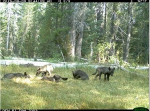 The five wolf pups in a pack recently discovered in California