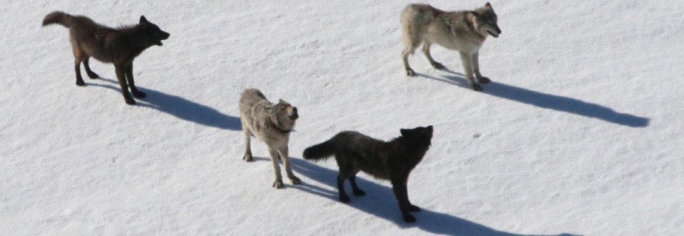 Did Glaciers Lure Wolves Back into California?