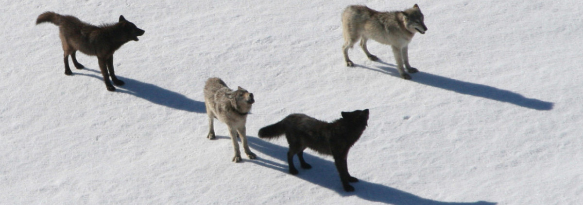 Wolf Family Toy : Did glaciers lure wolves back into california glacierhub