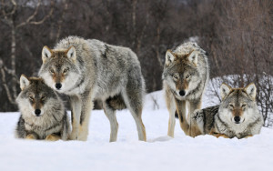 Gray wolves in snow (source: University of Buffalo)