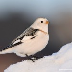 Snow bunting in Norway (source: Tormod Amundsen)