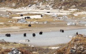 yaks in a stream in Jomolhari, Bhutan