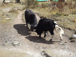 Two yak bulls fighting source Ben Orlove