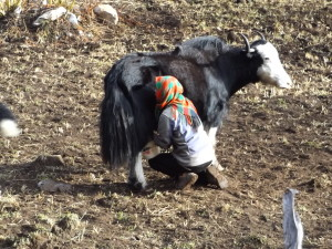 a young woman milks a yak in Bhutan