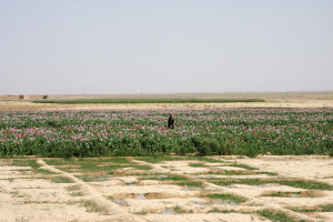 Irrigated poppy field in desert region in southern Afghanistan (source: P. Chasse)