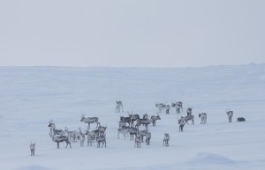 Reindeer at Halti credit: Carten Frenzel)