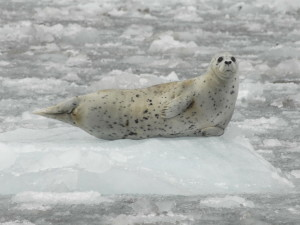 Harbor seals, said to be awkward on land, use icebergs as a place of safety from predators. (Courtesy of :Jamie Womble/National Park Service))