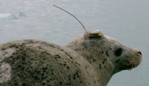 Harbor seal wearing GPS tracking device used in NPS research. (Courtesy of :National Park Service))