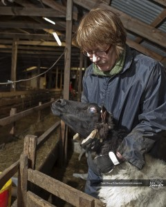 Caring for a sheep affected by the eruption (source: Ragnar Th. Sigurðsson)