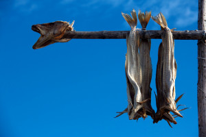 Polar Cod, which relies on plankton, being dried in Norway. Courtesy of Flickr User Victor Velez.