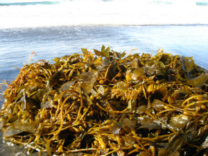 Kelp Seaweed. Courtesy of Flickr User snickclunk.