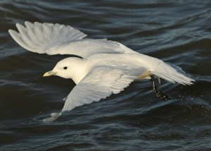 an ivory gull, flying close to the water