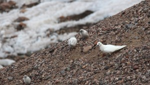 An adult gull and fledglings on the iceberg. Source: Polar Biology.