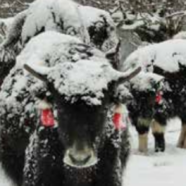 Transnational Solutions to Preserve Yak Populations in Himalayas