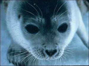 Ringed seal, polar bears' main prey (Source: NOAA)