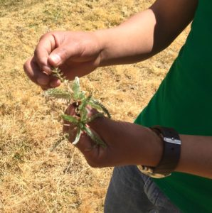 Azaña demonstrating the method of assessing plant vigor (source: Ben Orlove)