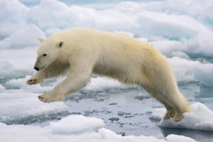 Polar bear in Svalbard, Norway (Source: Arturo de Frias Marques)