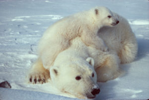 Mother with her cub (Source: Scott Schliebe, US Fish and Wildlife Service)