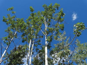 Balsam Poplar canopy (source: Adam Jones, PhD)