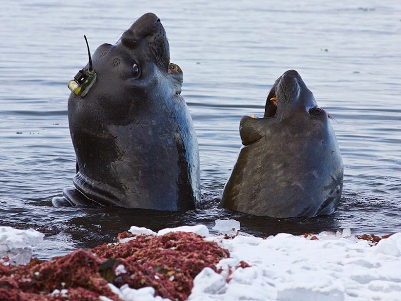 Elephant seals, with sensors glued to their heads (source: Clive R. McMahon)