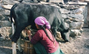 Milking a dzomo at Pensi-la (source: Josianne Robichaud)