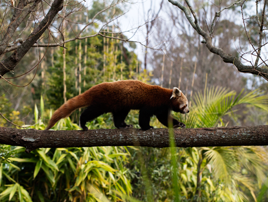 A red panda in captivity (Source: Jason Barles/Creative Commons).