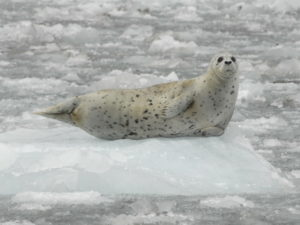 One harbor seal resting on the glacier ice (Source: Jamie Womble/NPS)